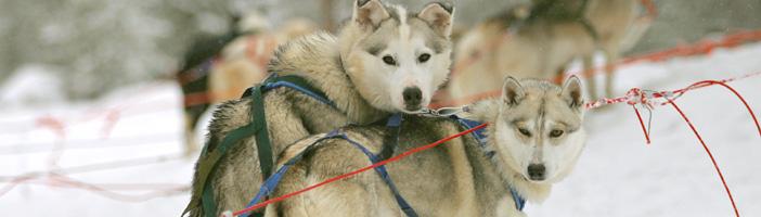 Huskysafari 5 km boeken? reizen Land/Finland|Categorie/Levi activiteiten ? Lees eerst hier voordat je boekt.