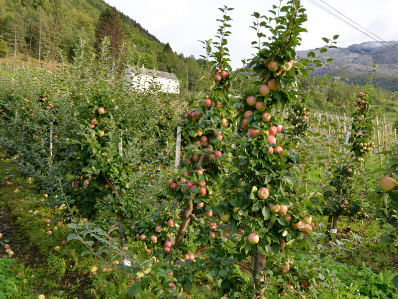 Fruit eten in Hardanger